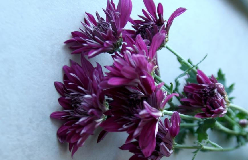 Purple Mums